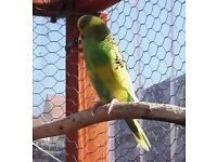 Adult (1 year) Budgies for sale