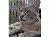 MISSING TONKINESE MALE GREY CAT