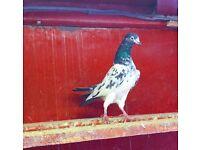 Pakistani Teddy Pigeons