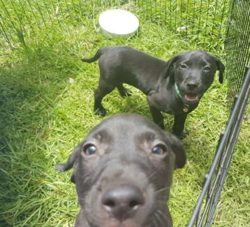 Labrador x Kelpie puppies for sale.