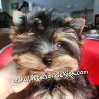 ~*~ Yorkie * Yorkshire Terrier: QUALITY & BEAUTY! ~*~