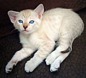 RARE F6 Snow Savannah Kittens - Only a Few Left!!!
