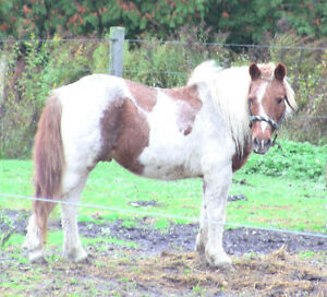Small Pony Gelding for sale