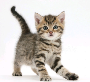 Looking for a Tabby Kitten