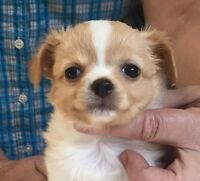 ONLY 2 LEFT CKC REGISTERED LONG COAT CHIHUAHUA PUPS