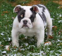 Quality Rare Coloured Bulldogs