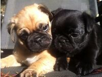 Beautiful Puppies pug x last ones