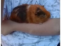 Two young male guinea pigs plus cage for sale