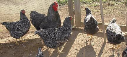 DB Plymouth Rock fertile chicken eggs-- can post Taree Greater Taree Area Preview
