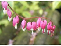 Dicentra spectabilis or bleeding heart plant