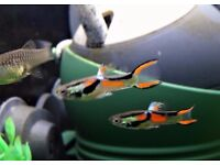 10 Pure Black Bar Endlers FRY, tropical fish, Local Collectn / Deliv (Suffolk)