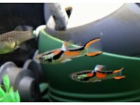 10 x Pure Black Bar Endlers FRY available Local Collection / Delivery by arrangement (Suffolk)