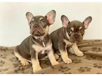 5 quality male french bulldogs