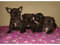 **READY TO LEAVE NOW KC REG FRENCH BULLDOG PUPPIES**