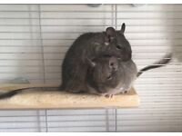 Two tame and friendly male Degus, almost one year old, with cage and accessories included.