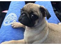 Kc registered pug puppie