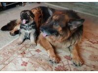 German Shepherd Long Coat Big Boned Male Puppy