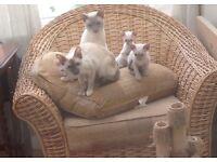 Siamese kittens