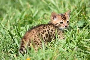 Pedigree bengal kittens Armidale Armidale City Preview
