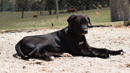Greyhound x Mastiff Female Pup