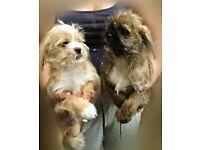 shih tzu cross puppies