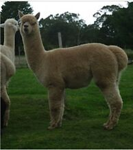 Registered Stud male Camelot Loholt Churchable Lockyer Valley Preview
