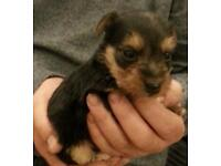 Yorkie x king Charles puppies