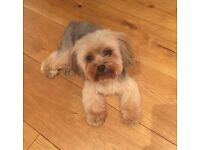 Friendly dog sitter available week days for your small doggies looking for company