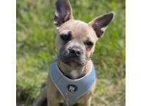 French bulldog cross jug for sale 5 months old.