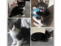 1 grey/white and 3 black/white kittens ready for loving forever homes