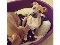 2 Female staffy Puppies