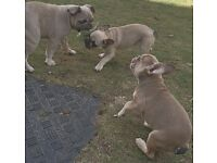 Beautiful fawn French Bulldogs for sale