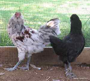 Looking for Easter Eggers/Americana Chickens