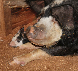 2 Sows, excellent mothers
