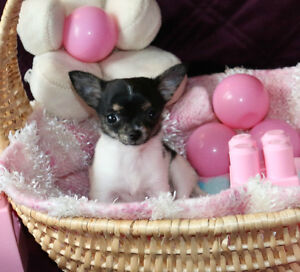 Chihuahua ❤ femelle minuscule fera 2 1/2 lbs adulte  ❤T-cup
