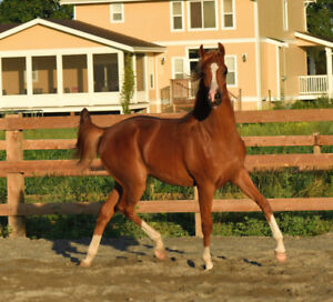 Handsome and Athletic Purebred Arabian Gelding