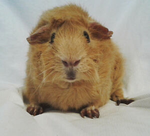 3 YEAR OLD GUINEA PIG NEEDING ANOTHER CHANCE
