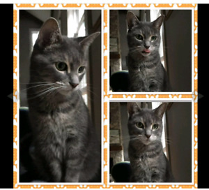MISSING Grey Striped Female Cat