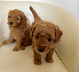 Puppies in Devon | Dogs & Puppies for Sale - Gumtree