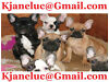 CUTE FRENCH BULLS FOR FREE REHOMING Londonderry