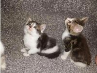 STUNNING TABBY KITTENS FOR SALE