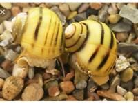 Spixi snails