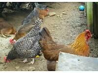 Chickens ..hens ..bantams