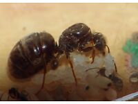 Live Queen ants Lasius niger with eggs and brood