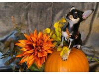 3 Gorgeous Chihuahua Puppies ready from 31st October!
