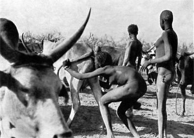 Old Photo.  Nuer Natives Forcing Air Into Cows Anus & Vagina To Get More Milk