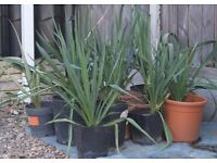 TROPICAL YUCCA HARDY, EASY GROW, £5 EACH OR THREE FOR £13, CAN DELIVER