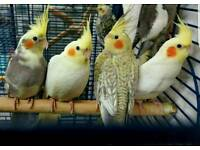 Cockatiels For Sale. 40/45/50. Cages