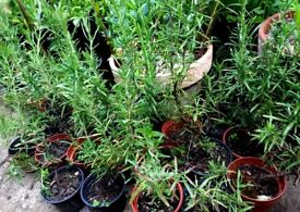 Rosemary plants ( Rosmarinus officinalis)