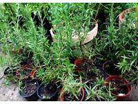 Rosemary plants ( Rosmarinus officinalis)